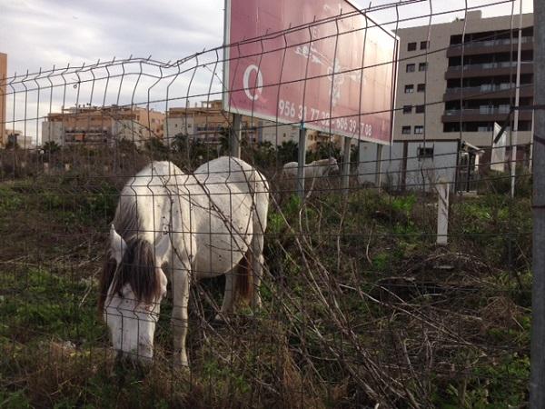 Nuevo caso de caballos que luchan por sobrevivir al abandono en un solar de Jerez
