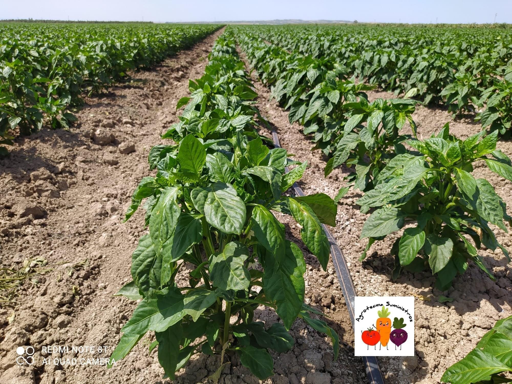 Los cultivos de tomate y pimiento, a buen ritmo con Agrotecma Suministros